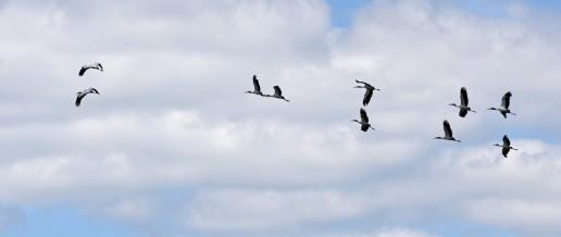 Wood Stork, Everglades Eco Tours