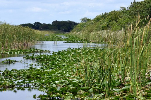 Everglades Sawgrass, Airboat eco tours near me, Everglades freshwater marsh