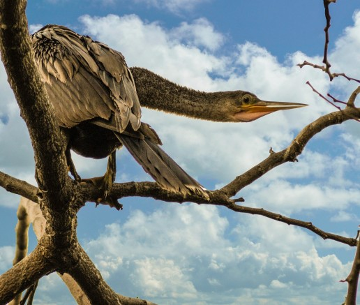 Anhinga, Everglades wildlife, Florida birds, Everglades eco tours