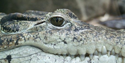 american-alligator-everglades-airboat-tours-crocodile