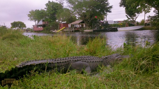 american alligator, allitgator, gator, reptile, everglades, miami river
