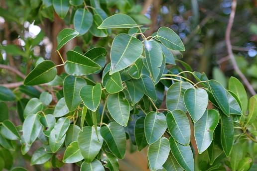 poisonwood tree, everglades plants, everglades eco tour
