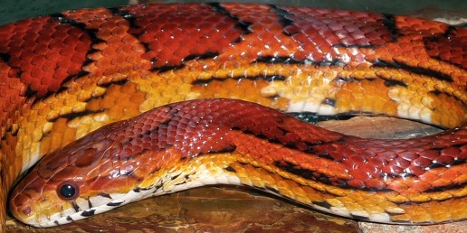 red rat snake, everglades snakes, airboat eco tours, everglades wildlife, everglades reptiles