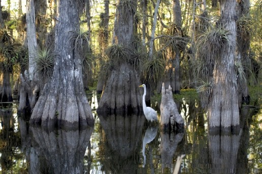 Cypress trees, everglades plants, airboat eco tours