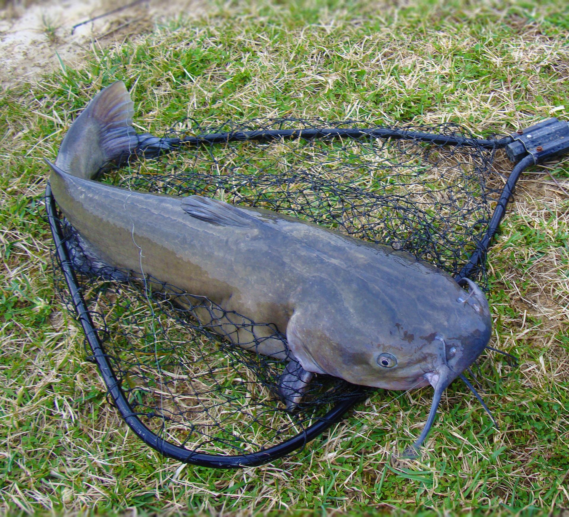Channel catfish, everglades fishing, everglades wildlife, gladesmen culture