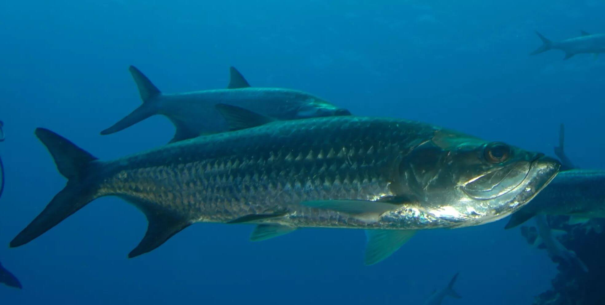 Tarpon, Everglades wildlife, Private airboat tours, Everglades fishing