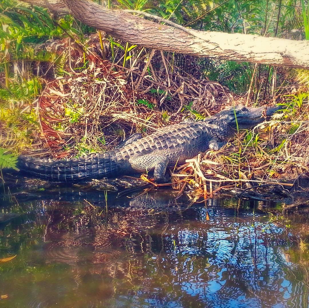 everglades wildlife, gladesmen culture, alligator myths, alligator tours, airboat eco tours