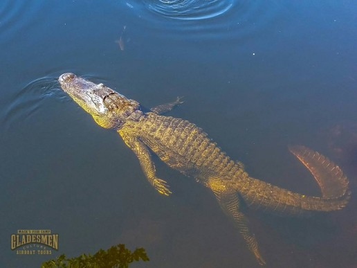 everglades wildlife, gladesmen culture, alligator myths, private airboat tours