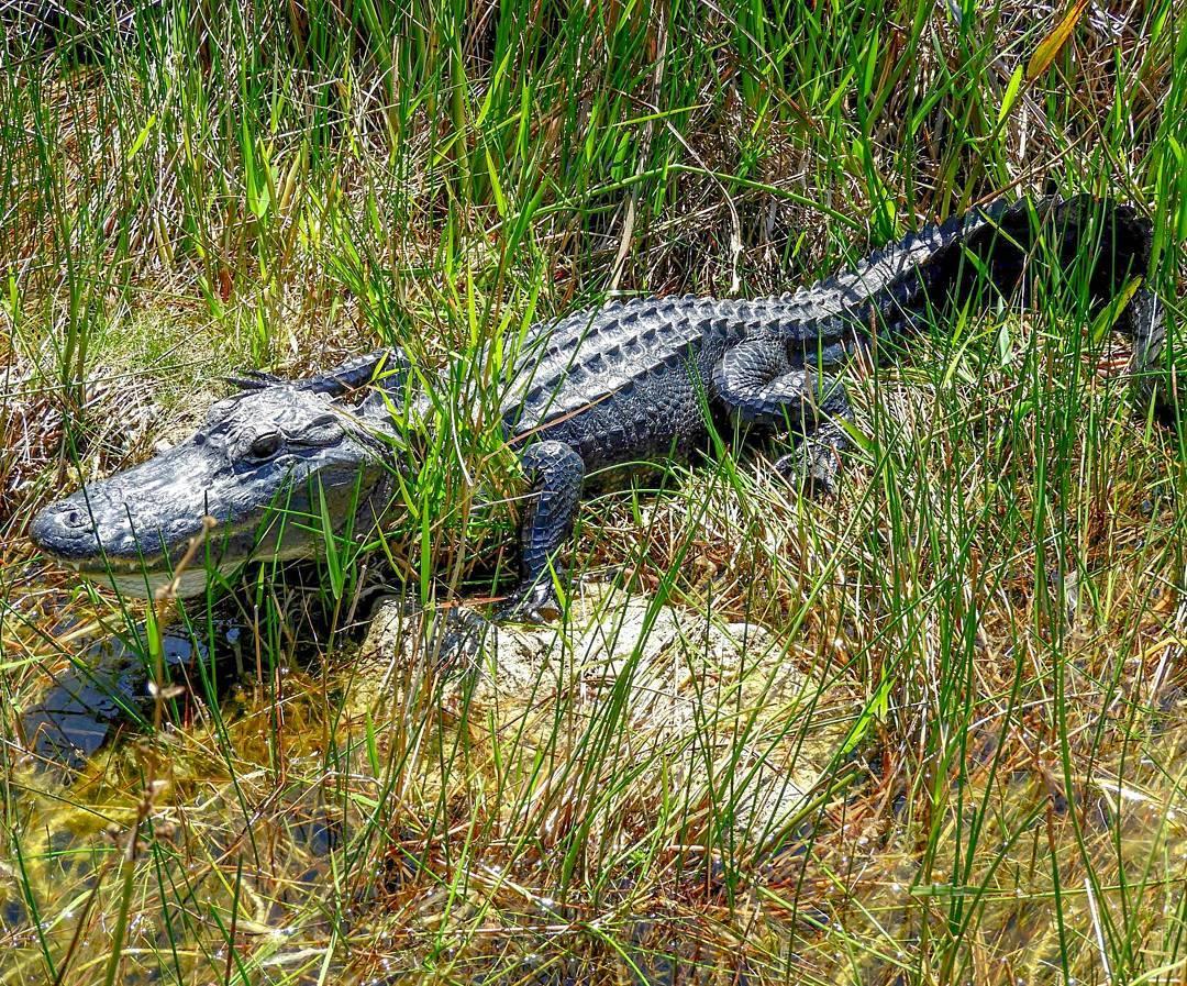 Alligator, sawgrass marsh, everglades tour