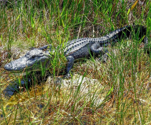 everglades airboat tours, airboat eco tours, gladesmen culture, alligator myths