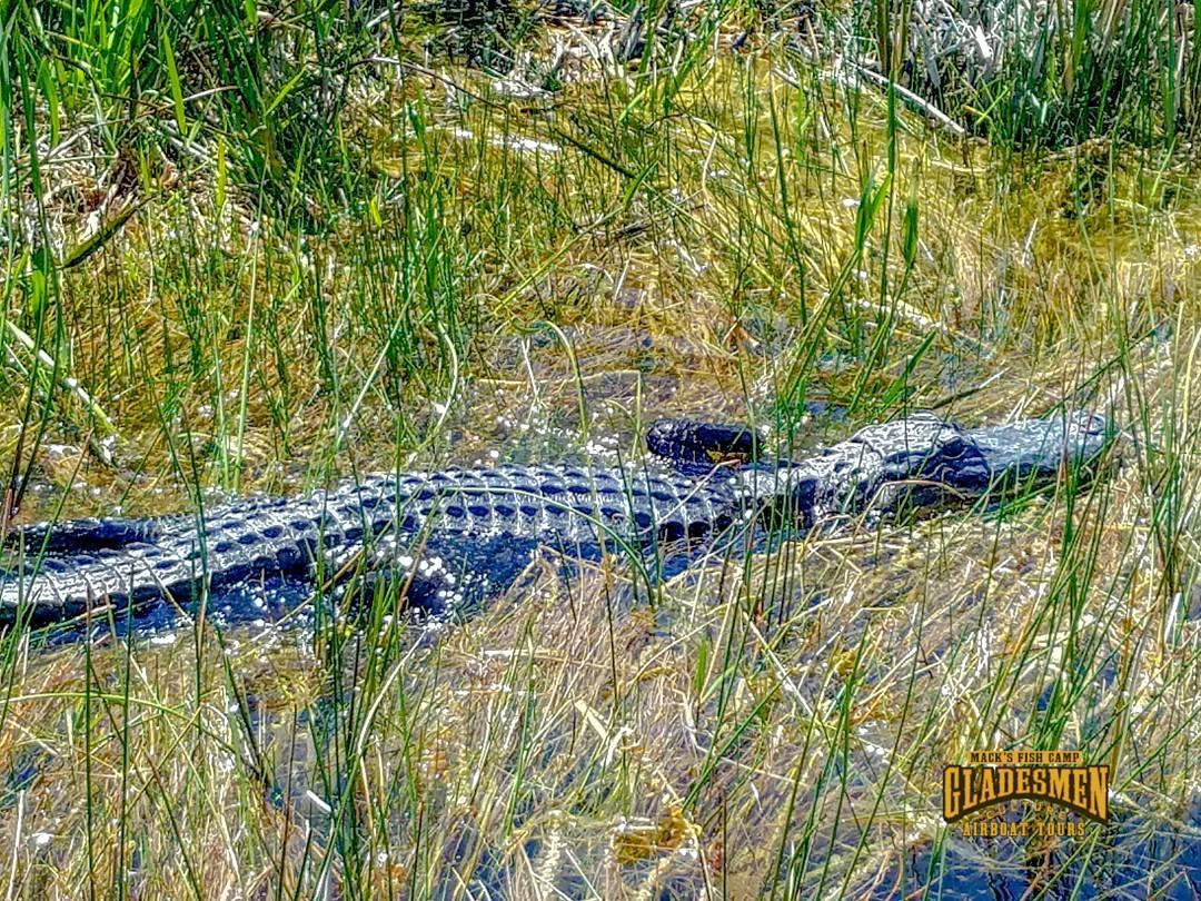 everglades alligator, sawgrass marsh, sawgrass, everglades airboat tours, everglades wildlife, gladesmen culture