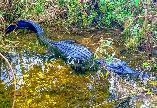 Living with alligators, private airboat tours, everglades wildlife, everglades eco tour