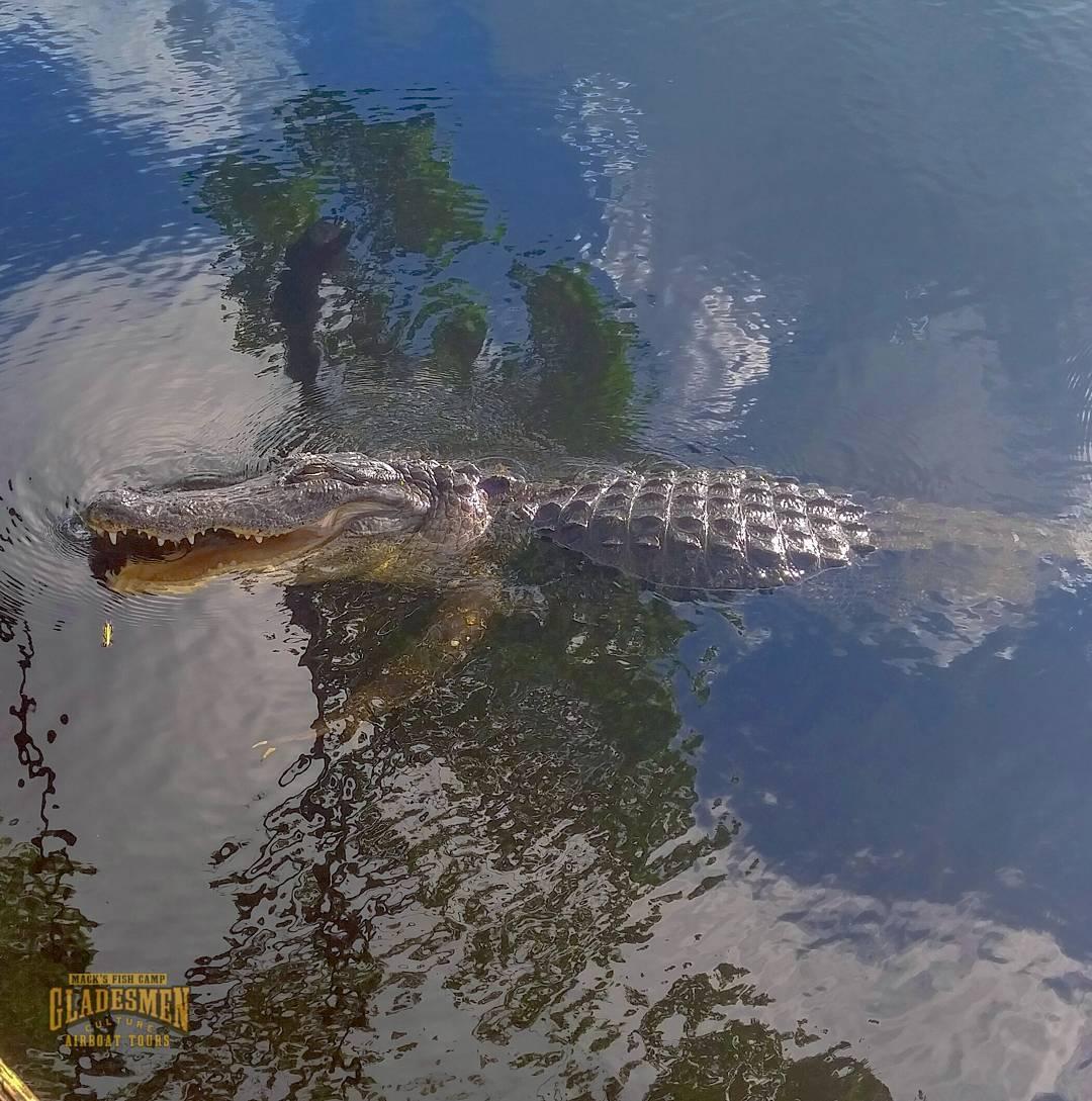 Living with alligators, everglades wildlife, mack's fish camp, everglades airboat tour