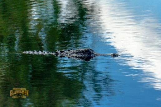 living with alligators, everglades wildlife, private airboat tours, everglades eco tours