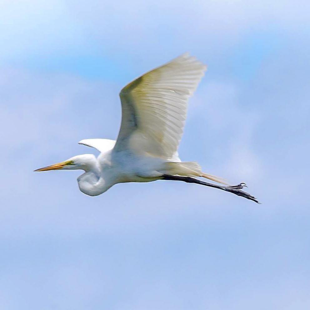 everglades wildlife, great egret, everglades airboat tour