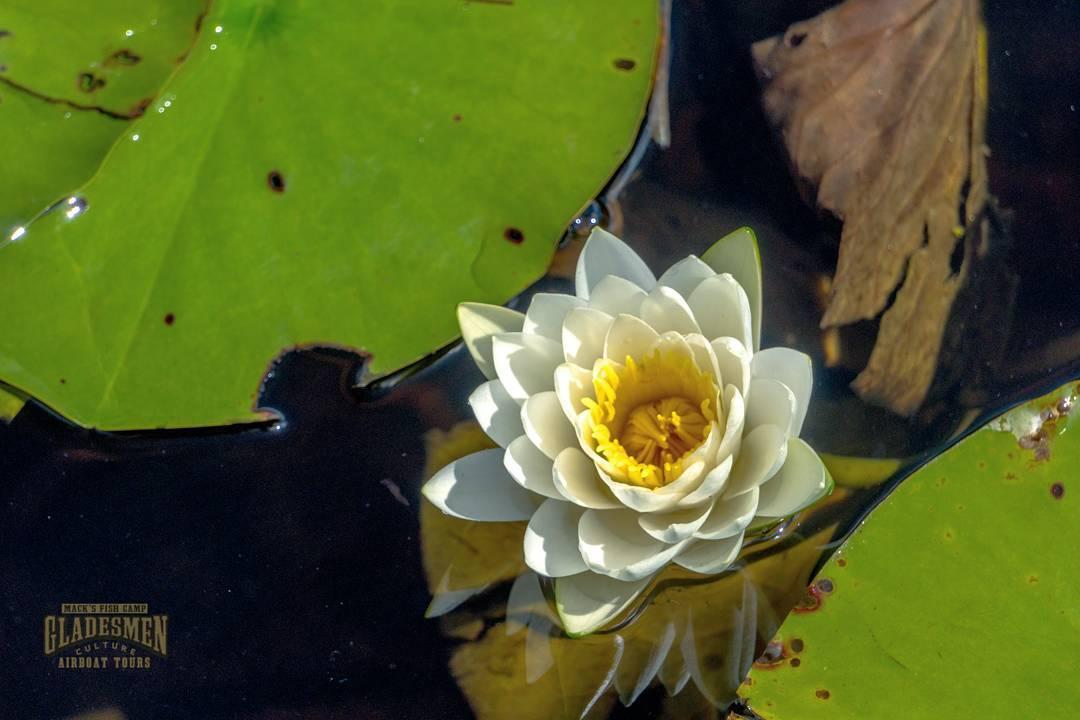 swamp lily, everglades plants, everglades eco tour, macks fish camp, miami airboat tours, gladesmen culture