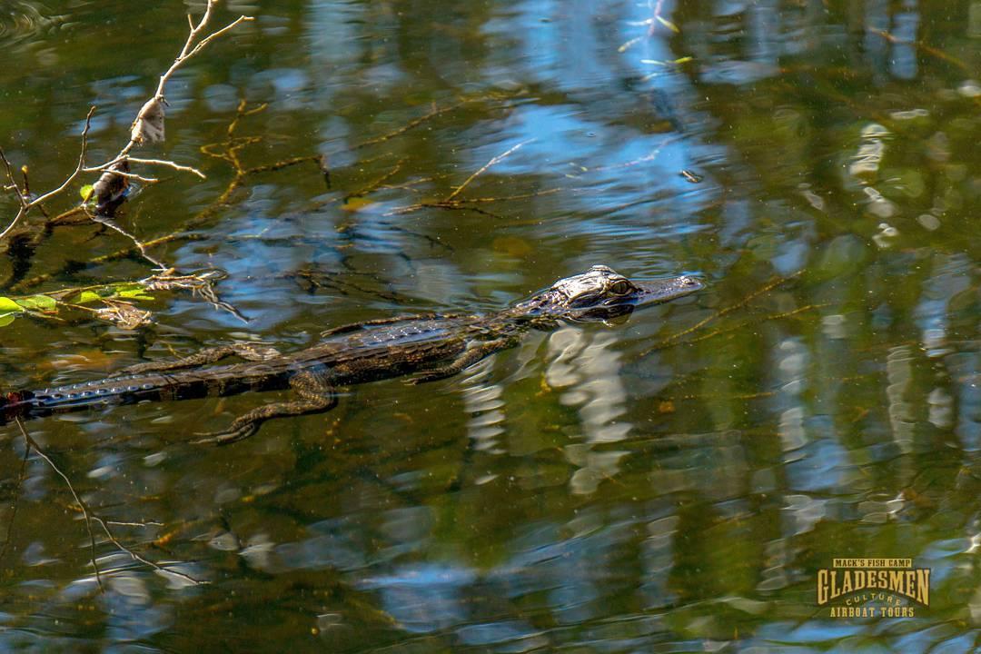 everglades alligator, everglades eco tour, macks fish camp, miami airboat tours, gladesmen culture